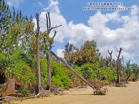モクマオウの枯れ木