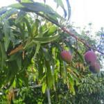 不作の年の沖縄産アップルマンゴーの味わいは?