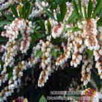 リュウキュウアセビの花を楽し散歩道/バンナ公園スポット