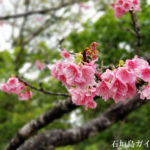 石垣島の寒緋桜(カンヒサクラ)を見に行こう!スポット紹介
