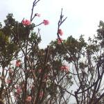 石垣島のカンヒサクラが3分咲き 2014年
