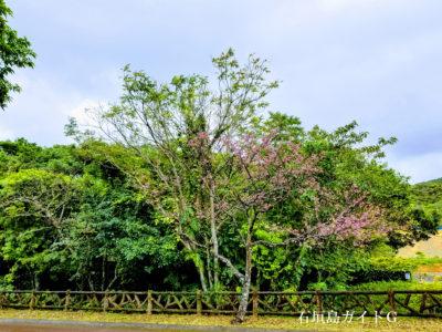 バンナ公園 桜