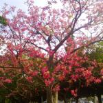 トックリキワタの満開の花を見に行こう(12月)