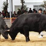 迫力ある牛達の戦い!石垣島闘牛大会