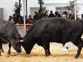 新春闘牛大会