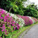 色とりどりの「ツツジ」を楽しむ散歩道/石垣島バンナ公園スポット